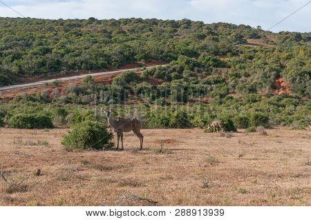 Kudu Koodoo Antelope Grazing On