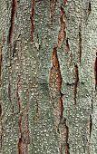 Old Tree Bark, Texture Tree Bark, Background Wooden Bark, Background Tree Bark poster