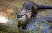 Oriental Small-clawed Otter, Amblonyx Cinereus, Also Known As The Asian Small-clawed Otter. poster