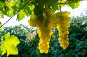 Ripe White Wine Grapes Plants On Vineyard In France, White Ripe Muscat Grape New Harvest Close Up poster