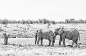 Elephant Behavior - An African Elephant, Loxodonta Africana, Pushing With Its Trunk Against Another  poster