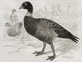 Brant Goose old illustration (Branta bernicla). Created by Kretschmer, published on Merveilles de la