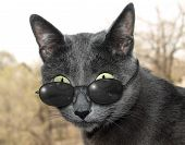 stock photo of scrooge  - Blue silver cat with dark sun glasses - JPG