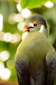 Close Up Portrait Of A Guinea Turaco Perching On A Branch poster