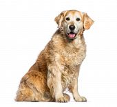 Golden Retriever, 12 years old sitting in front of white background poster