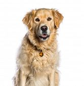 Golden Retriever, 5 years old, in front of white background poster