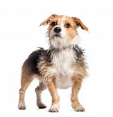 Mixed breed dog in front of white background poster