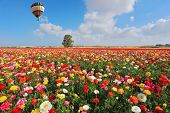 stock photo of buttercup  - Spring  in Israel - JPG