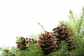 spruce branches with pine cones isolated on white