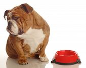 stock photo of begging dog  - english bulldog turning her nose up to an empty food dish  - JPG