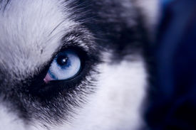 image of white wolf  - Selective focus on an eye of a very wolf-like siberian husky