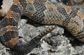 stock photo of timber rattlesnake  - The rattle from a large timber rattlesnake - JPG