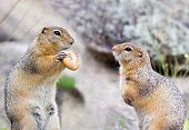 foto of gopher  - One gopher holding the bagel in his claws and other hungry suslik looking at him - JPG