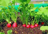 image of radish  - Red round radishes growing in the garden - JPG