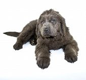 foto of newfoundland puppy  - Cute Newfoundland puppy laying on a white background - JPG