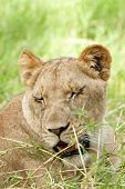 stock photo of squinting  - African lioness squint on bright sun while resting Eastern Africa - JPG