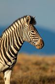 Portrait of a Plains (Burchells) Zebra (Equus quagga burchelli), South Africa
