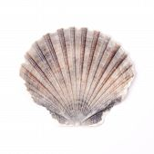 stock photo of scallop shell  - Flat scallop shell isolated on white background - JPG