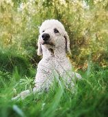 image of standard poodle  - a poodle in a park - JPG