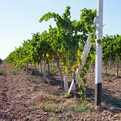 foto of heartwarming  - Colourful Vineyard in South Crimea Ukraine summer - JPG