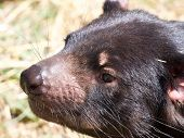 Close Up Of Tasmanian Devil
