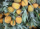 Постер, плакат: Ripe fresh honey pineapples