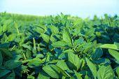 stock photo of soya-bean  - Soy field with rows of soya bean plants in sunset - JPG