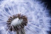 stock photo of dandelion seed  - Dandelion seed head macro close up with some seeds missing - JPG