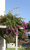 stock photo of begonias  - Decorative aegean and mediterranian flower Begonia  - JPG