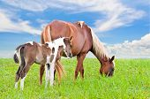 pic of mare foal  - Brown white mare and foal with a blue sky background in a field of grass - JPG