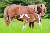 picture of mare foal  - Horse foal suckling from mare in the pasture of Thailand - JPG