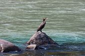 image of gang  - A lone cormorant sitting on a rock on the Ganges River - JPG