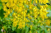stock photo of cassia  - Purging Cassia or Ratchaphruek flowers  - JPG