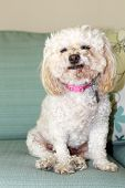 stock photo of bichon frise dog  - A Bichon Frise smiles as she relaxes a couch - JPG