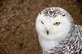 foto of snowy owl  - Close up of Snowy owl screaming opening its beak with yellow eye - JPG