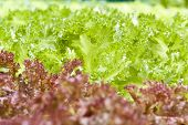 foto of hydroponics  - Hydroponic vegetable being grown in a nursery - JPG