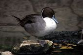 pic of pintail  - Pintail duck standing on stone in river - JPG