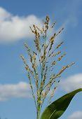 Corn Tassel Against The Summer Sky poster