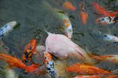 picture of koi fish  - Colorful Koi Fish swimming in a pond - JPG