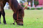 picture of horses eating  - Brown horse eating grass on the field - JPG