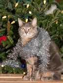 image of blue tabby  - Blue tabby with silver tinsel sitting in front of a lit up Christmas tree - JPG