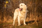 picture of tongue  - young golden retriever dog with pink tongue play in autumn park - JPG