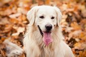 pic of dog park  - young golden retriever dog with pink tongue stand on yellow leaves in autumn park - JPG