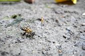 foto of underdog  - A bee make a living on the ground