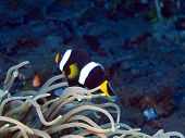 pic of clown fish  - The surprising underwater world of the Bali basin, fish-clown ** Note: Visible grain at 100%, best at smaller sizes - JPG