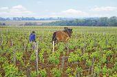 pic of horse plowing  - Horse plowing in vineyard in Burgundy France - JPG