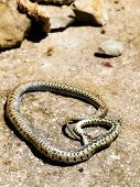 image of harmless snakes  - Harmless snakes was targeted with stones to death because of the eternal human fear - JPG