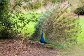 image of fantail  - Proud male peacock standing in leaves and showing off his fantail - JPG