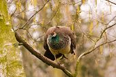 stock photo of peahen  - Female peacock or peahen up in a tree