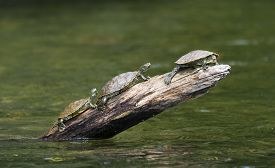 picture of cooter  - Three turtles sunning themselves on a stump protruding out of the lake water - JPG